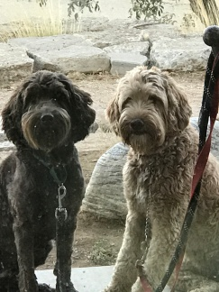 Cherry Valley Australian Labradoodles – The Ultimate in